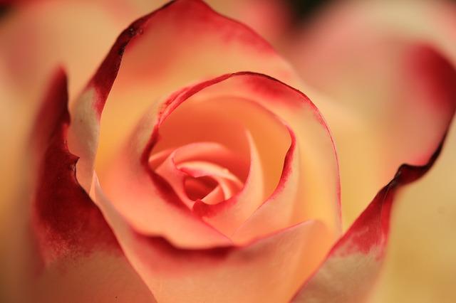 oražová růže