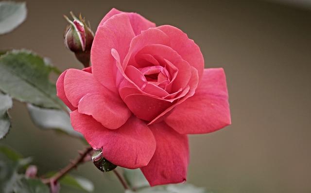 růžová ružička